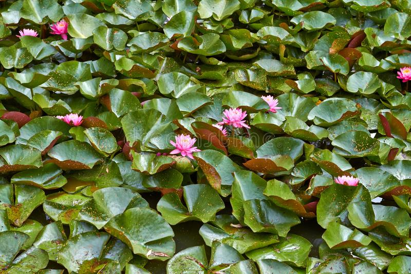De roze waterlelie van de bloemenlotusbloem met bladeren die op het water drijven Nederland Juli royalty-vrije stock afbeelding