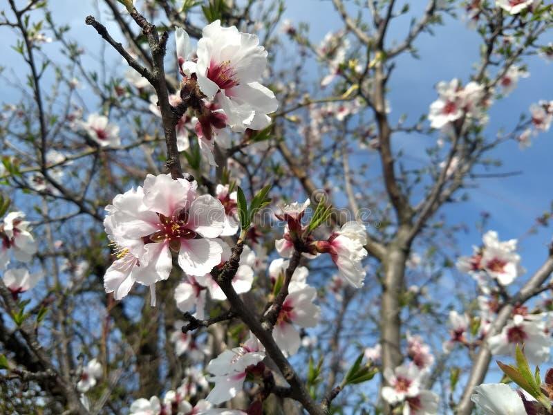 De roze witte bloemen van de amandelboom royalty-vrije stock fotografie
