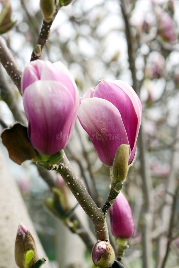 De roze witte bloesem van de magnoliaboom royalty-vrije stock afbeeldingen