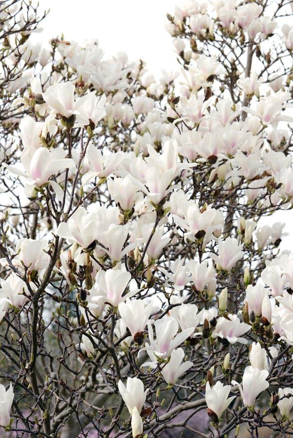 De roze witte bloesem van de magnoliaboom royalty-vrije stock afbeelding