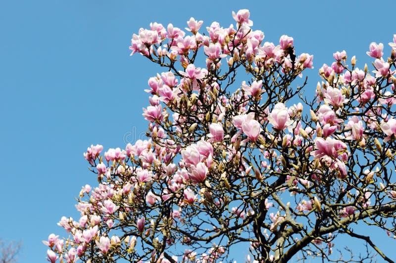 De roze witte bloesem van de magnoliaboom in de lente royalty-vrije stock foto's
