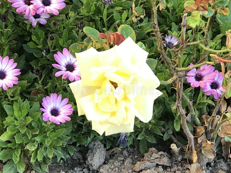 De rozen bij openbare tuin stock afbeelding