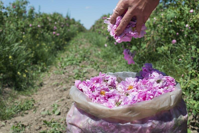 De rozen van aanplantingsgewassen royalty-vrije stock fotografie