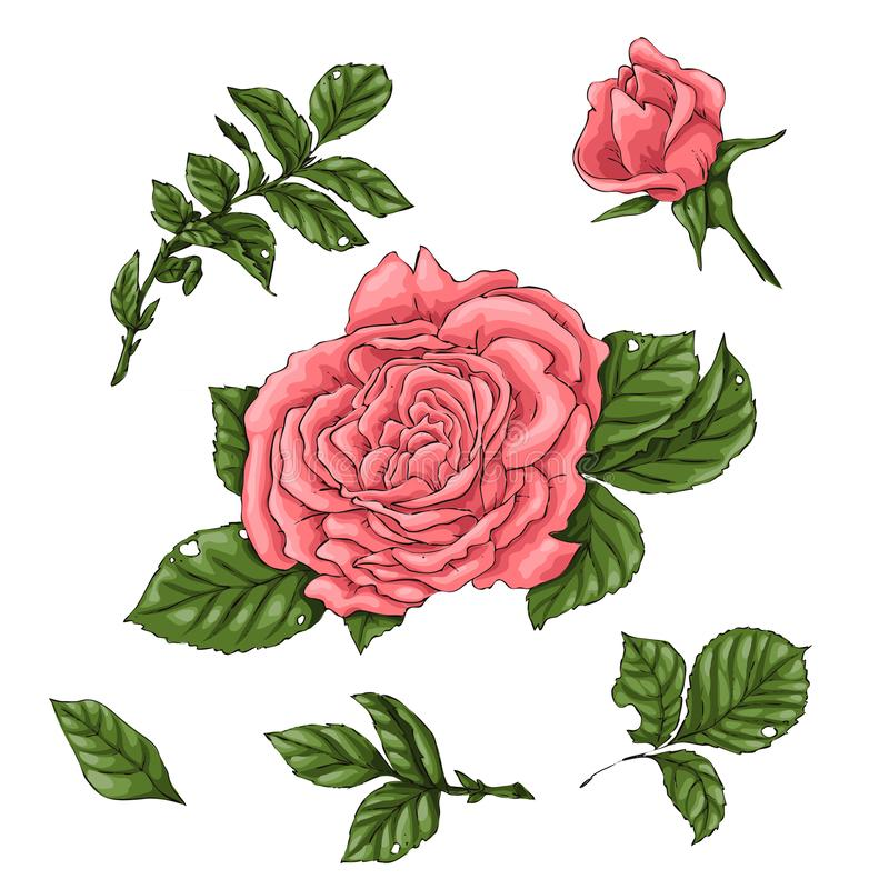 De rozen van het prentbriefkaarkoraal Hand die vectorillustratie trekken royalty-vrije illustratie