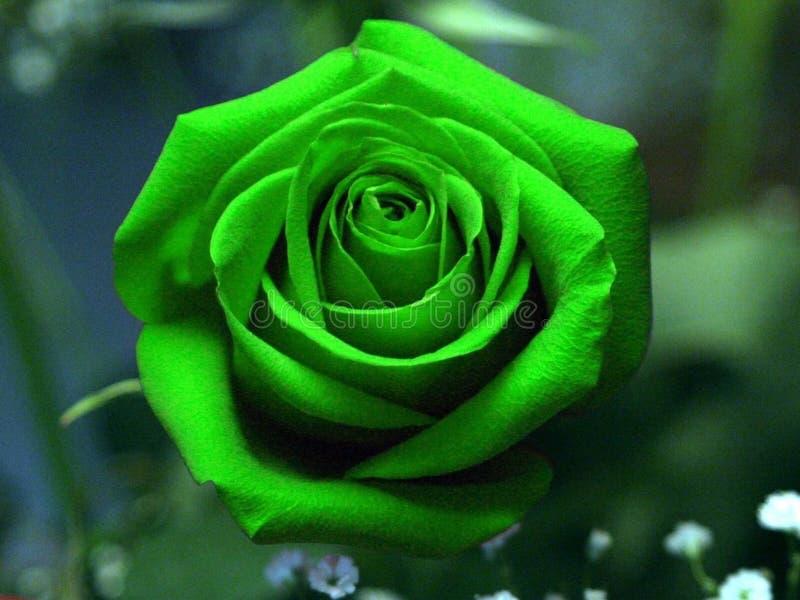 De rozen zijn rode pyschrozen zijn GROEN stock foto