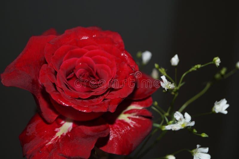 De rozen zijn rood stock foto