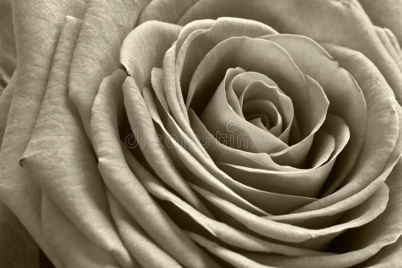 De rozen zijn rood? royalty-vrije stock fotografie