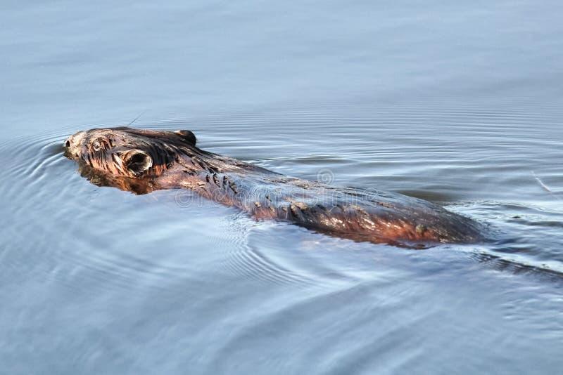De rug van een bever aangezien het weg zwemt royalty-vrije stock afbeelding