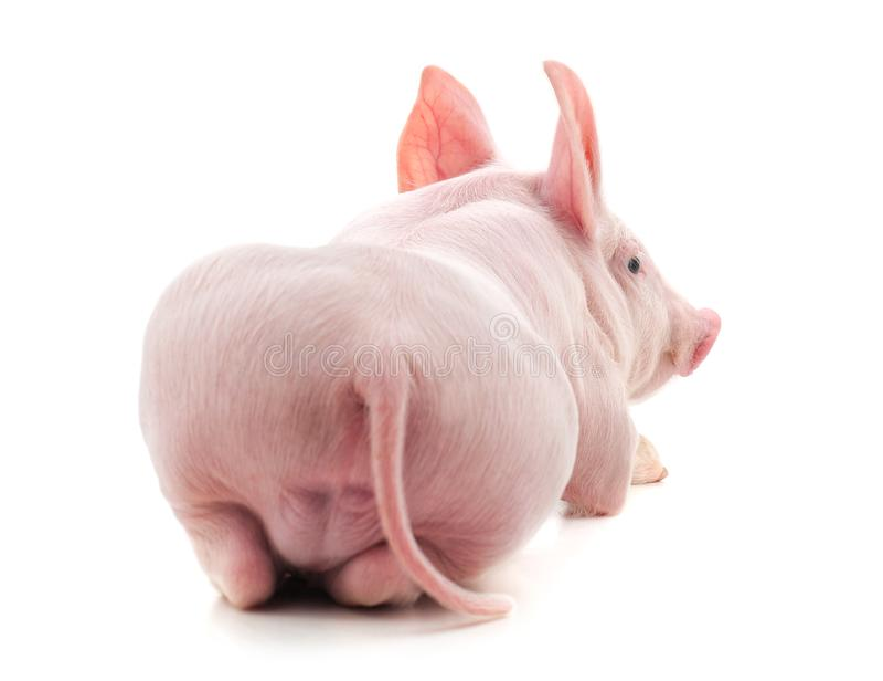 De rug van een varken stock foto