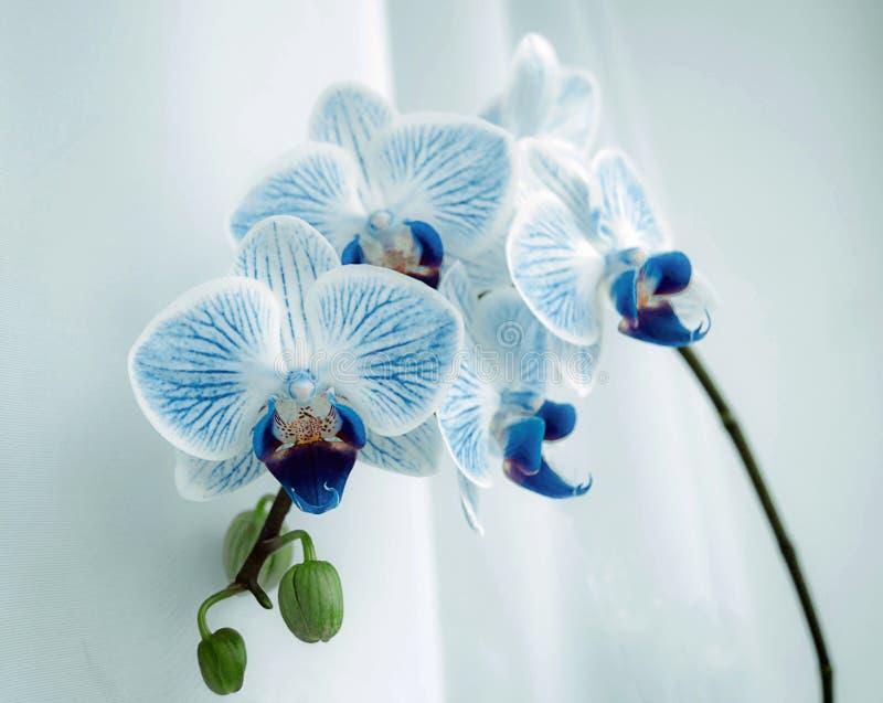 De ruimte van de orchideebloem, Phalaenopsis royalty-vrije stock foto
