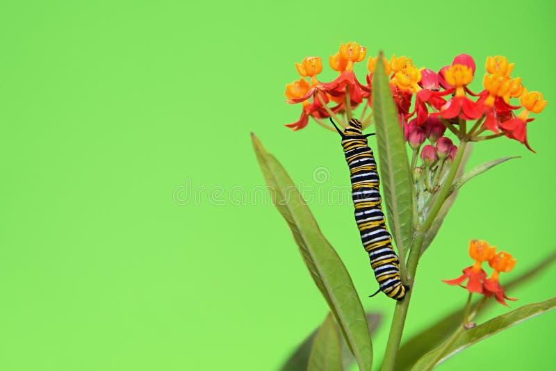 De rupsband van de monarchvlinder het voeden royalty-vrije stock foto's