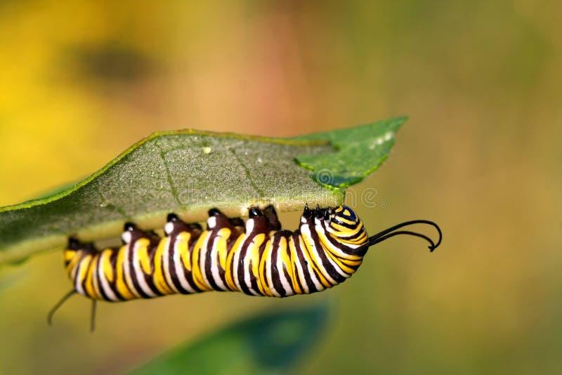 De Rupsband van de Vlinder van de monarch stock foto's