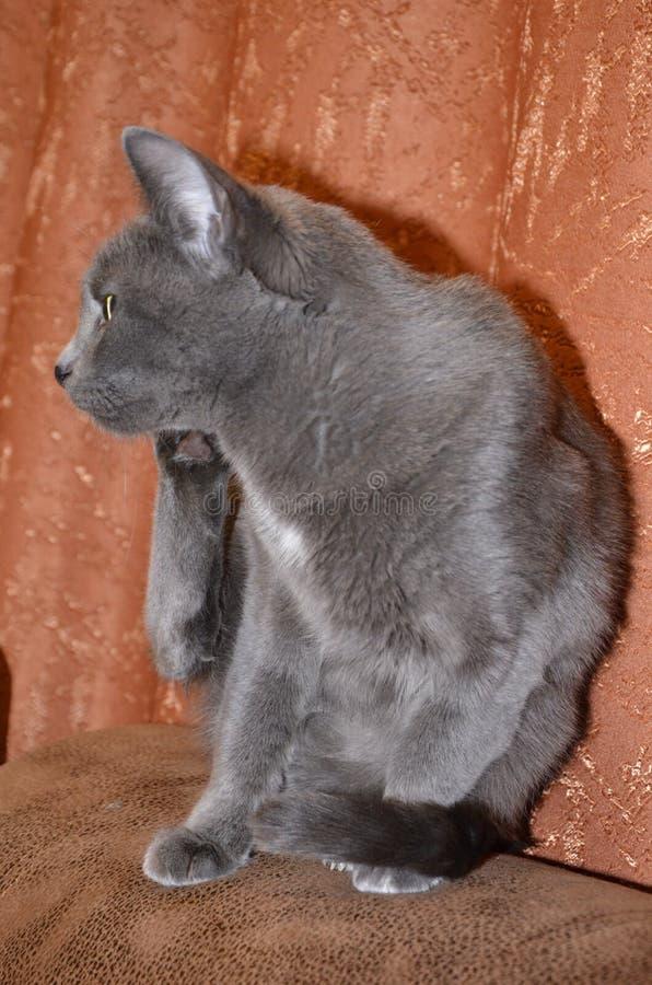 De Russische blauwe grijze zilveren-grijze kleur van het kattenras met groen-gele ogen royalty-vrije stock afbeeldingen