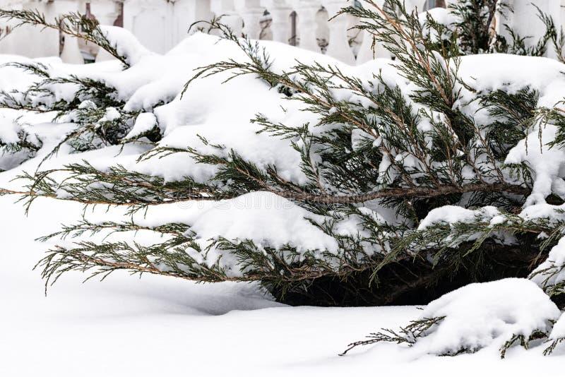 De Russische winter Groene jeneverbessenspruit onder sneeuw, witte achtergrond stock afbeeldingen
