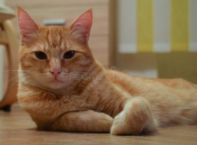 De rust van de gemberkat ziet naar huis eruit royalty-vrije stock foto's