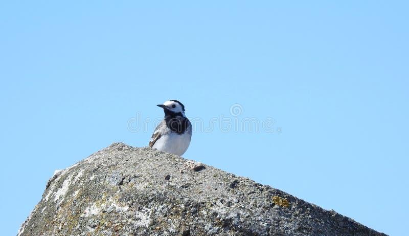 De rust van de kwikstaartvogel op steen, Litouwen stock foto