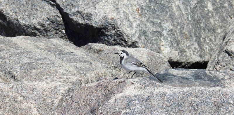 De rust van de kwikstaartvogel op steen, Litouwen stock afbeelding