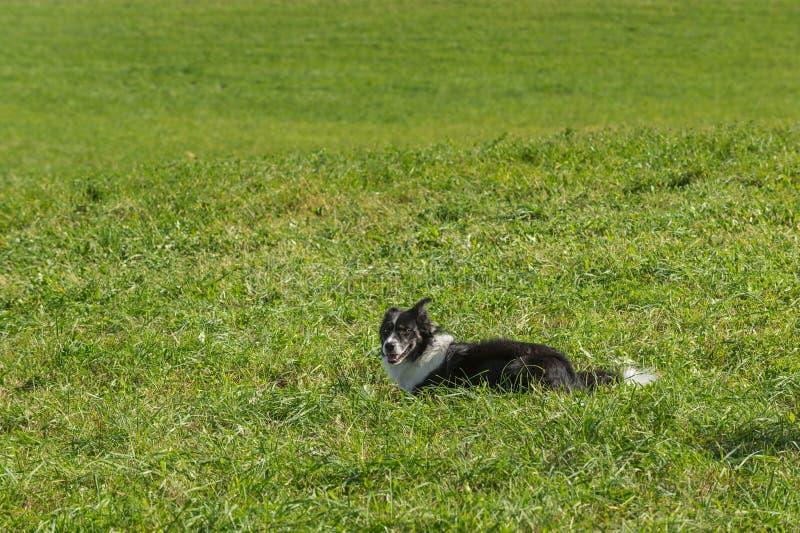 De Rust van de schapenhond in Gras royalty-vrije stock fotografie