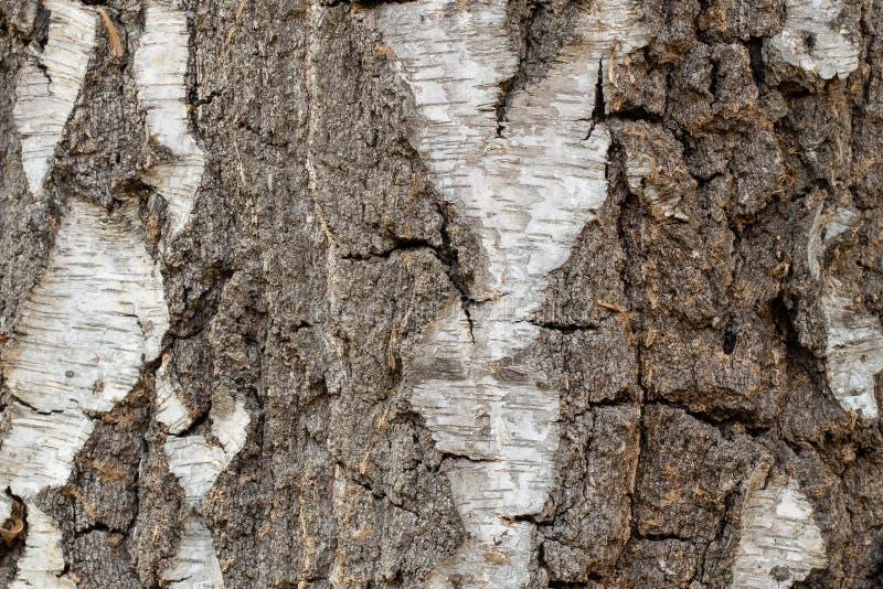 De ruwe Achtergrond van de de Schorstextuur van de Berkboom royalty-vrije stock afbeelding
