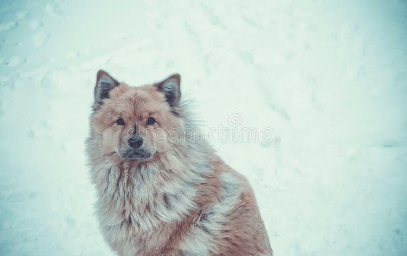 De ruwe Noordelijke hond royalty-vrije stock foto's