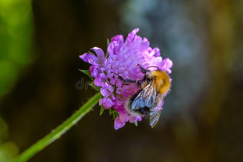 De ruwharige hommel verzamelt nectar stock afbeelding