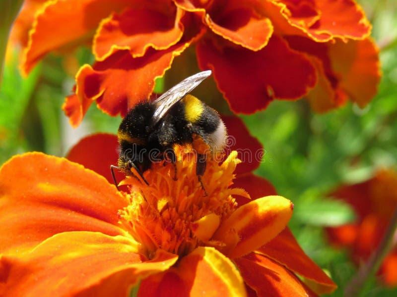 De ruwharige hommel verzamelt nectar van bloemen op een de zomerdag stock afbeelding