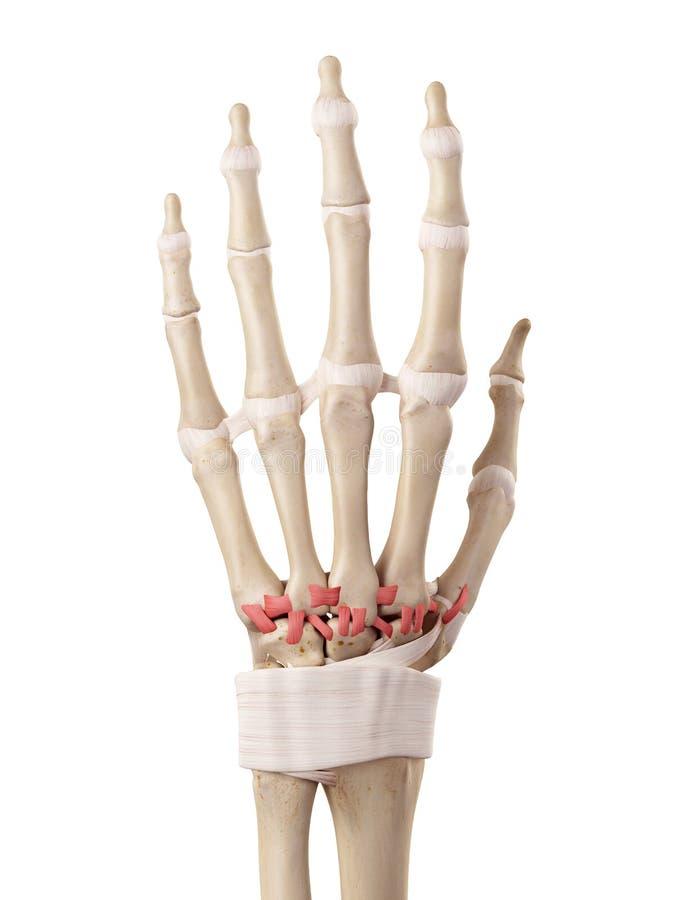 De rygg- carpometacarpal ligamenten stock illustrationer