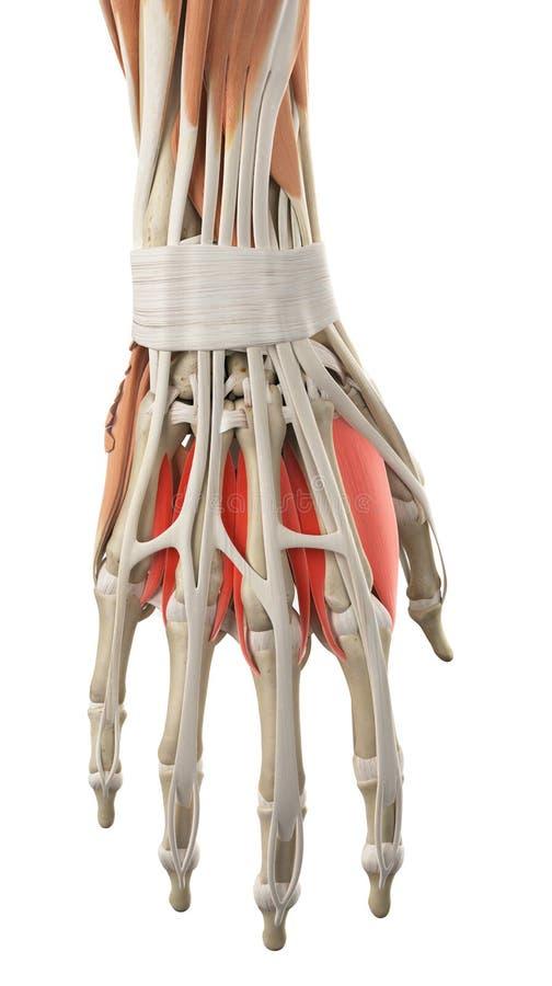 De rygg- interosseous musklerna stock illustrationer