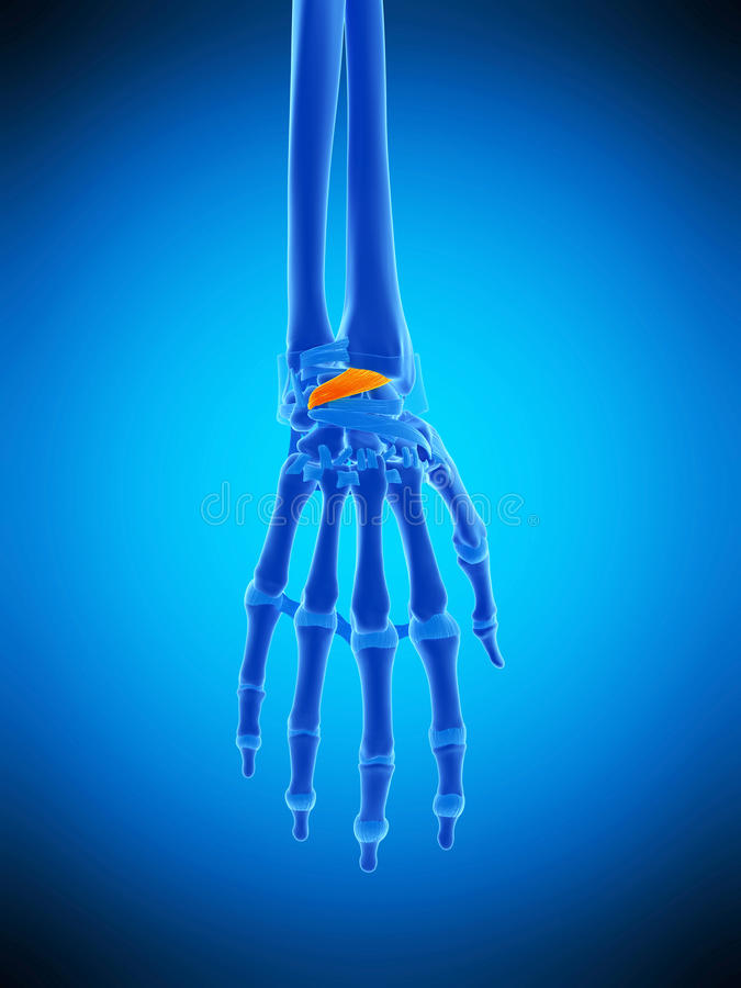 De rygg- radiocarpal ligamenten stock illustrationer