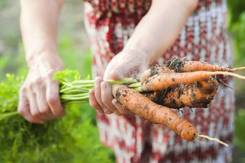 De rynkiga händerna av en äldre person att rymma nya morötter med jord och blast Closeupmorotskörd i händerna av ett äldre fotografering för bildbyråer