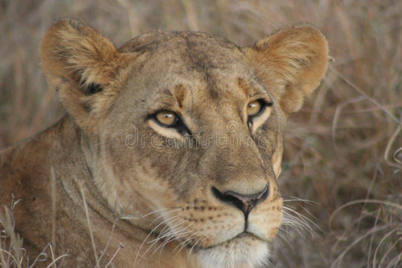 De Safari van Kenia royalty-vrije stock foto