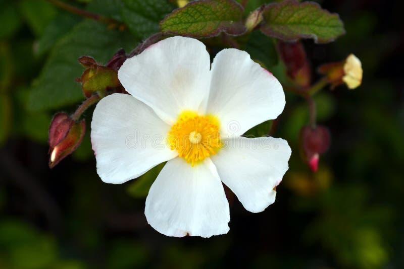 De Sageleafrots nam bloeiend in de lichte zonnige dag in de tuin toe, nam de wijs-leaved rots toe stock afbeelding
