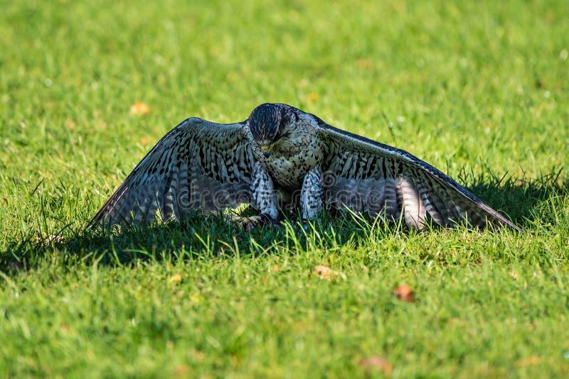 De sakervalk, Falco cherrug in een Duits aardpark stock foto's