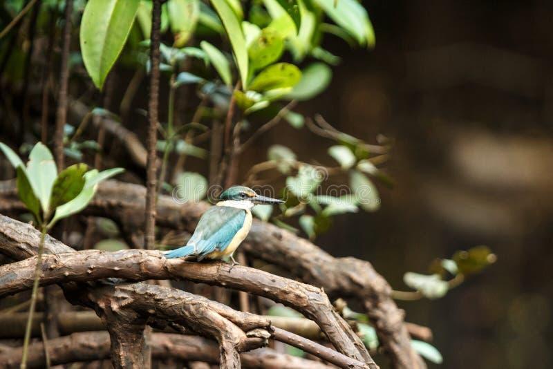 De sakrala sittpinnarna för kungsfiskareTodiramphus sanctus på en filial i mangrovebusken, familjAlcedinidae, endemiskart till In arkivfoton