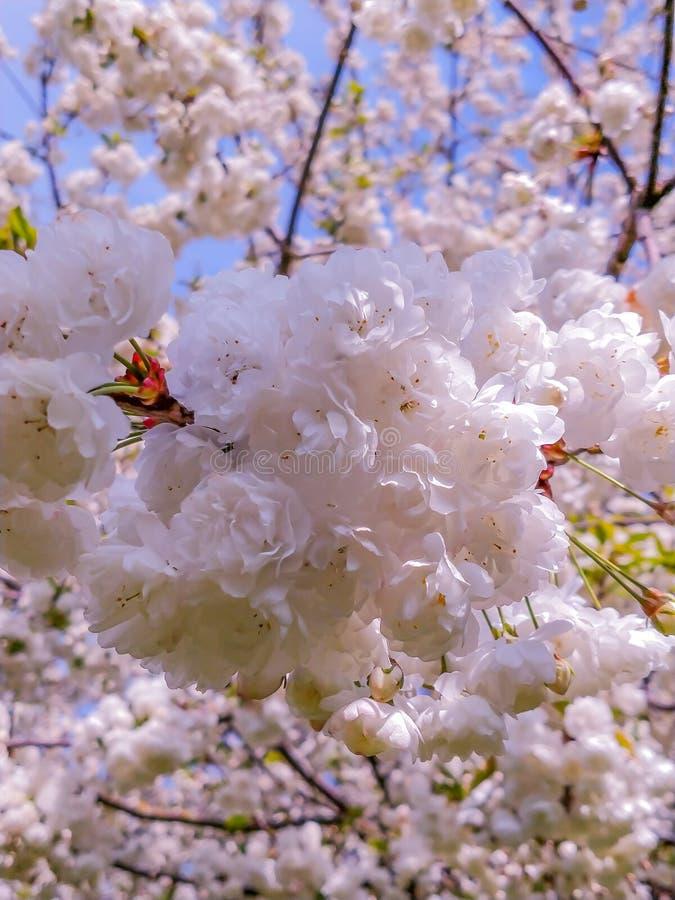 De Sakura blomningarna på soluppgång royaltyfri fotografi