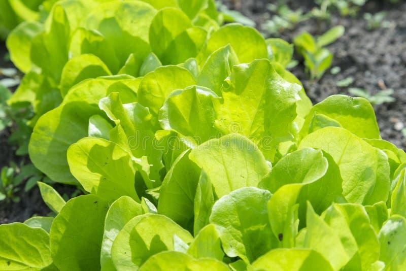 De saladeinstallatie van de Butterheadsla, hydroponic plantaardige bladeren verse groene salade in grond en potten, verse groene  royalty-vrije stock afbeeldingen