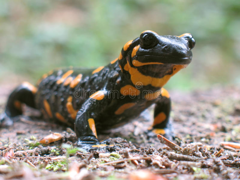 De salamander van de brand om te gaan jacht stock fotografie