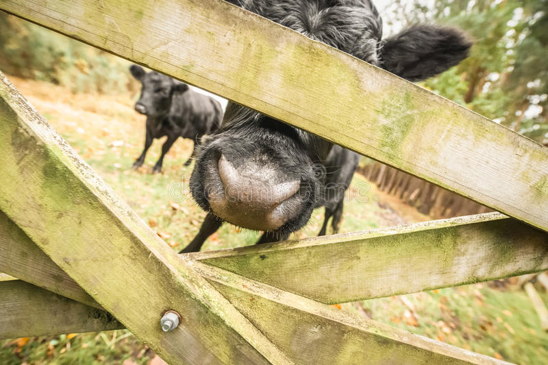 De samenvatting van het vee stock foto's