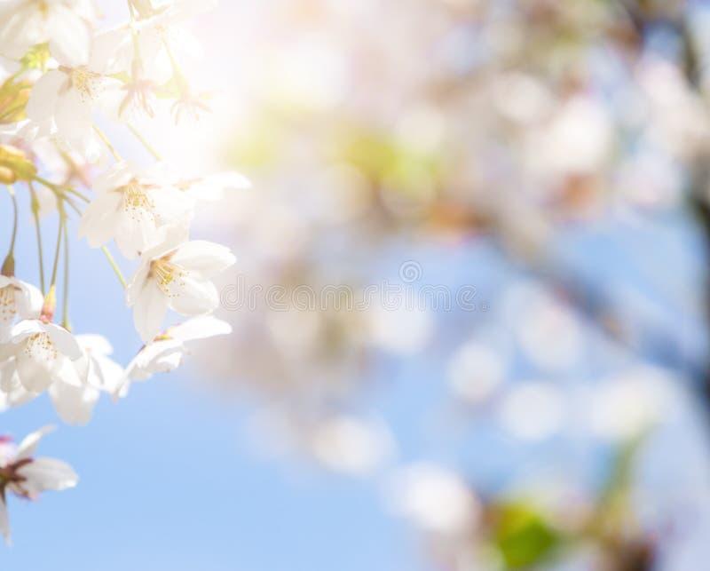 De samenvatting van de de lentegrens blured achtergrondkunst met roze sakura of kersenbloesem royalty-vrije stock afbeelding