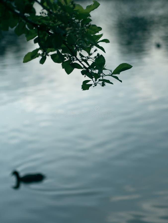 De samenvatting vertroebelde achtergrond van meer met silhouet van boomtak en eend bij schemer royalty-vrije stock foto's