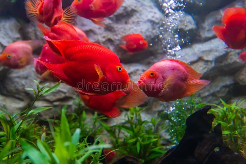 De sang de perroquet de cichlid de poissons baiser toujours toutes les fois qu'ils voient chacun transhorizon photo stock
