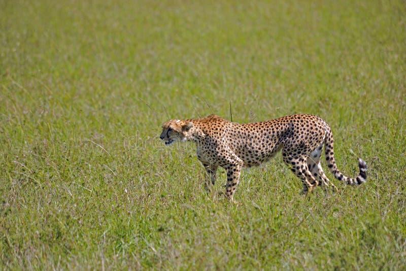 Download In de savanne stock afbeelding. Afbeelding bestaande uit cheetah - 29503467