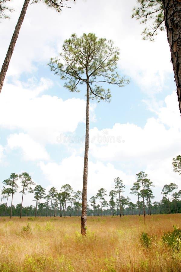 De Savanne van de Boom van de Pijnboom van Longleaf stock foto's