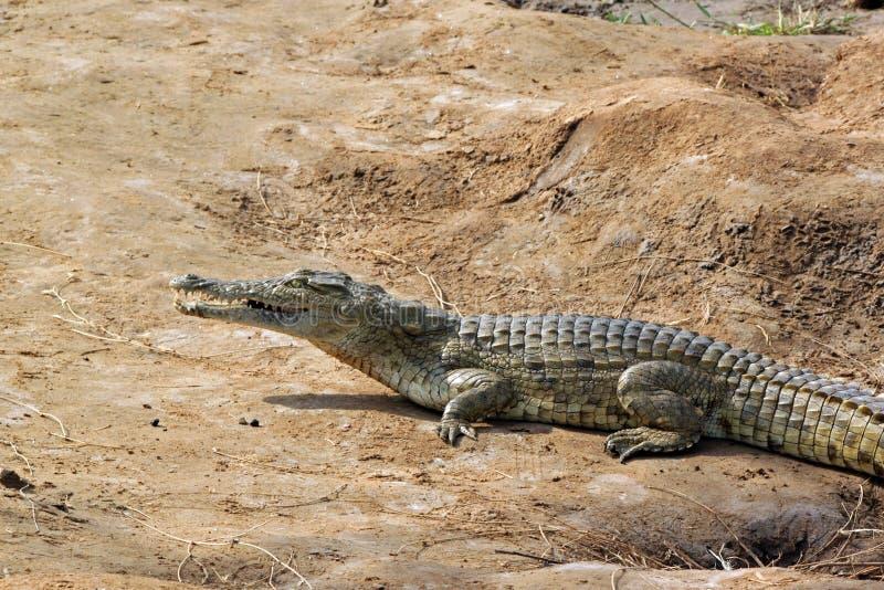 De savanne van de krokodil stock fotografie