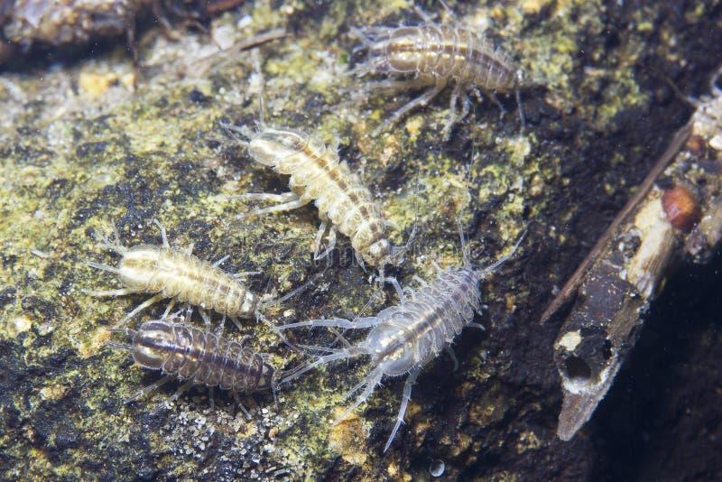 De schaaldier onderwaterfotografie van Amphipoda royalty-vrije stock fotografie