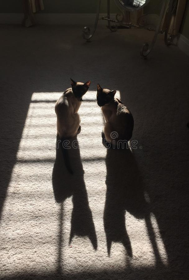 De schaduw van twee katten stock afbeelding
