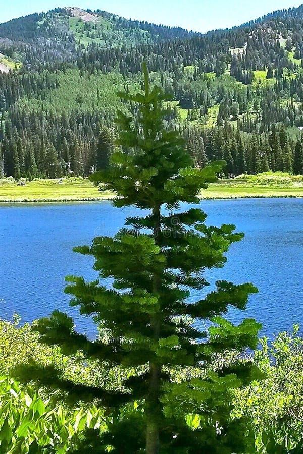 De Schaduwrijke Pijnboom op de Vijver stock foto