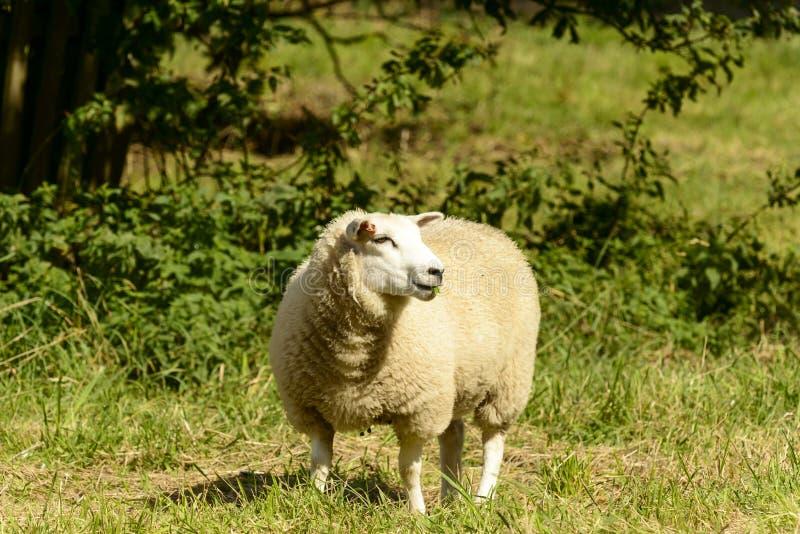 De schapen bij Abdij parkeren 01, Lacock royalty-vrije stock foto