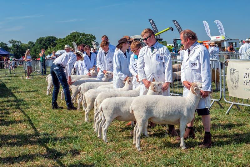 De schapen die de Concurrentie, Hanbury-Platteland beoordelen tonen, Worcestershire, Engeland royalty-vrije stock afbeelding