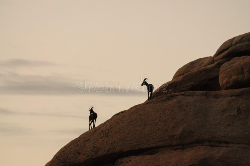 De Schapen die van het woestijnbighorn zich op een rots in Dawn bevinden stock afbeeldingen